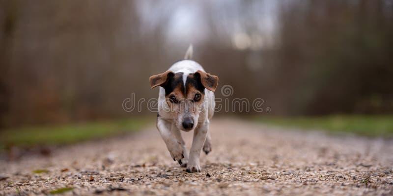 Den Jack Russell Terrier hunden kör i höst på en bred bana till och med skogen royaltyfri bild