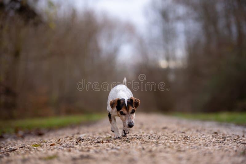 Den Jack Russell Terrier hunden kör i höst på en bred bana till och med skogen royaltyfri foto