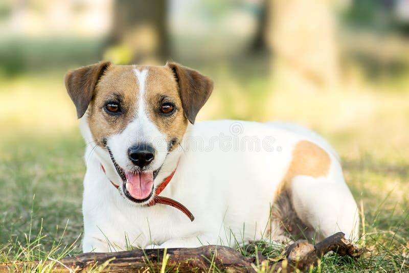 Den Jack Russell Terrier hunden som ligger på gräset i en sommar, parkerar En förfölja som ser kameran fotografering för bildbyråer