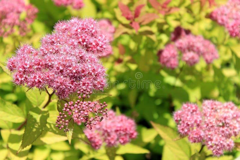 Den japanska spireaen eller korean, är en växt i familjrosaceaen Synonymer av namnet av artSpiraeabumaldaen arkivfoton