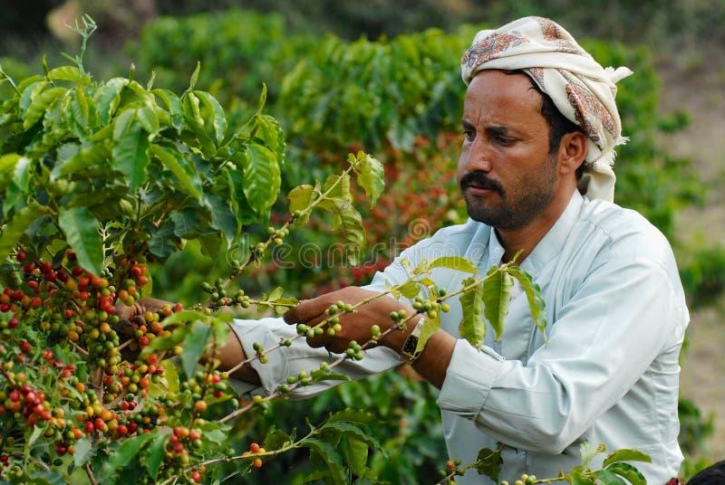 Den jemenitiska bonden samlar arabicakaffebönor på kolonin i Taizz, Yemen arkivbilder