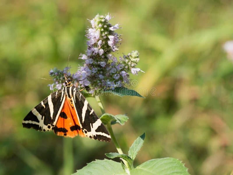 Den Jersey tigerEuplagia quadripunctariaen om dagen - flyga malen av familjen Erebidae arkivfoton