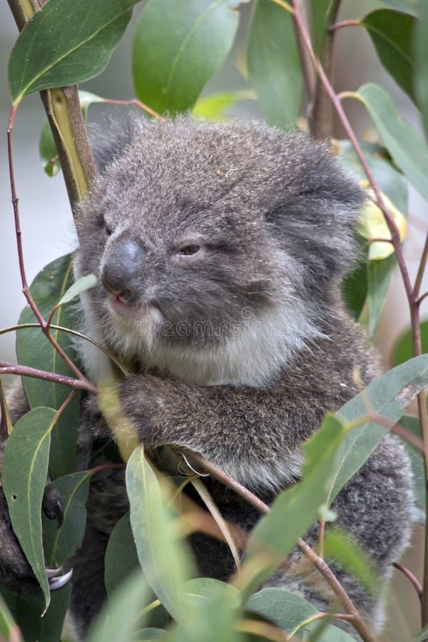 Den känguruunge koalan behandla som ett barn arkivfoto
