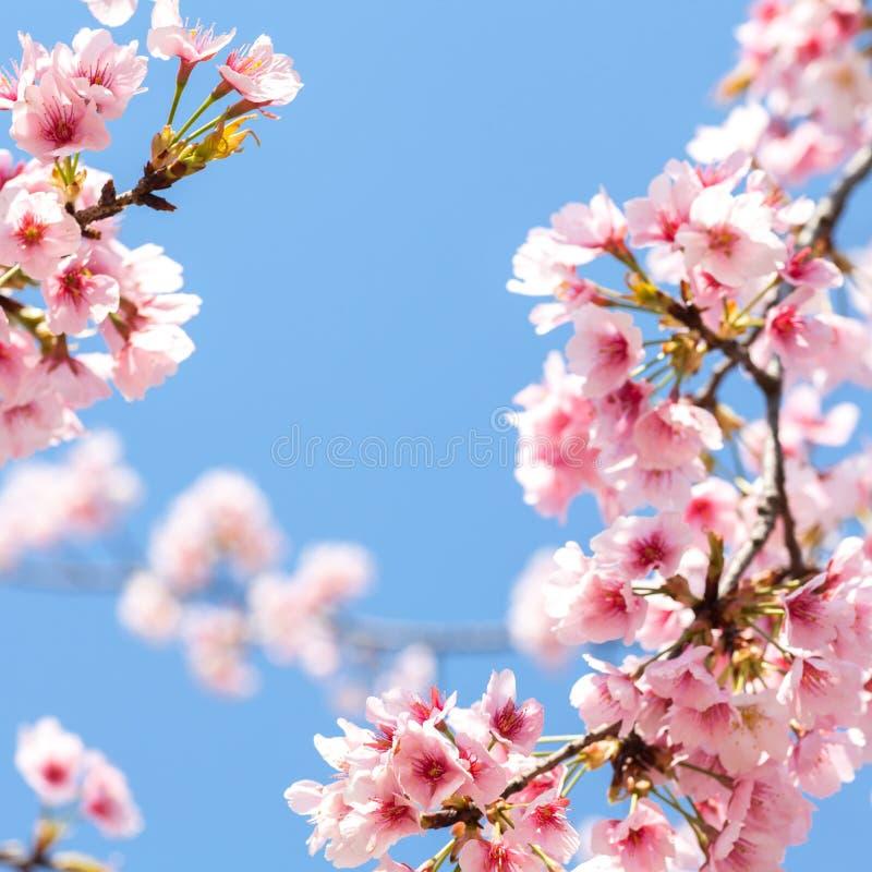 Den körsbärsröda blomningen arkivfoto
