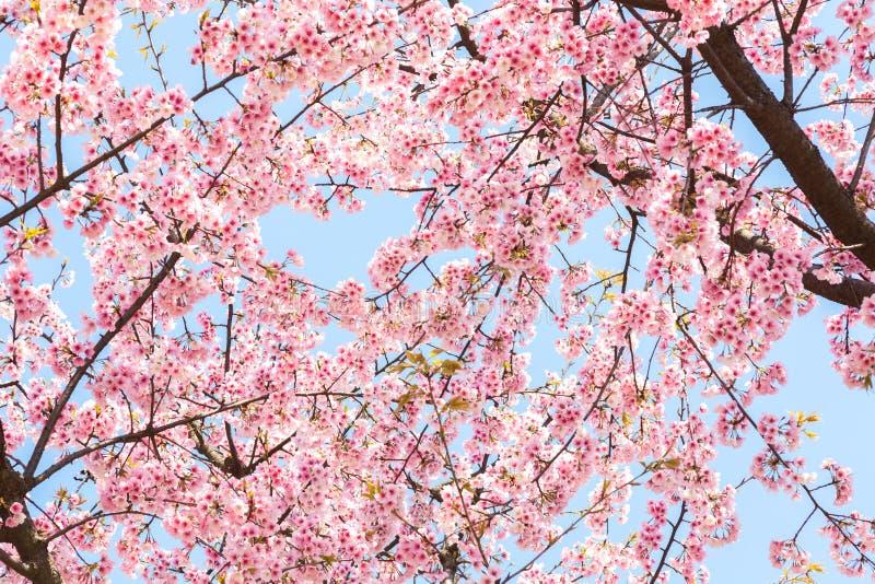 Den körsbärsröda blomningen fotografering för bildbyråer
