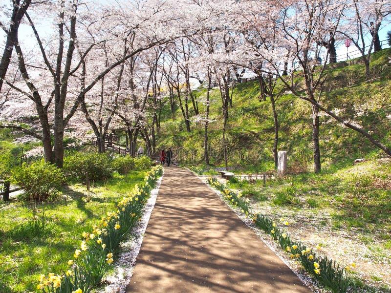 Den körsbärsröda blomningen i Funaoka Joshi parkerar i den Miyagi prefekturen, Japan fotografering för bildbyråer
