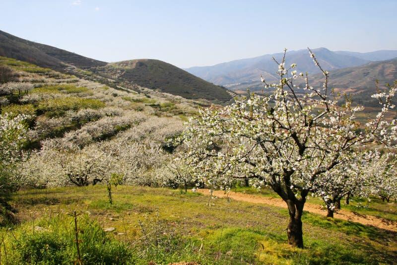 Den körsbärsröda blomningen landskap mellan berg royaltyfria bilder
