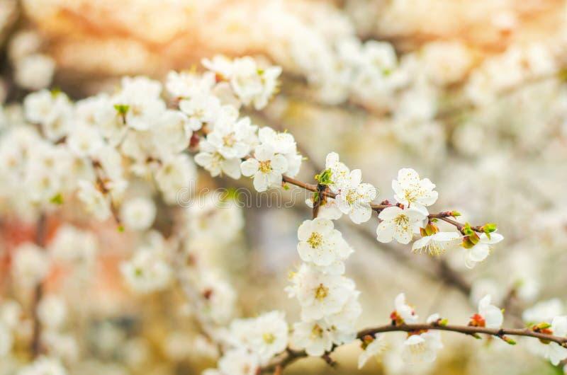 Den körsbärsröda blomningen på en solig dag, ankomsten av våren, blomstra av träd, slår ut på ett träd, naturlig tapet royaltyfri foto