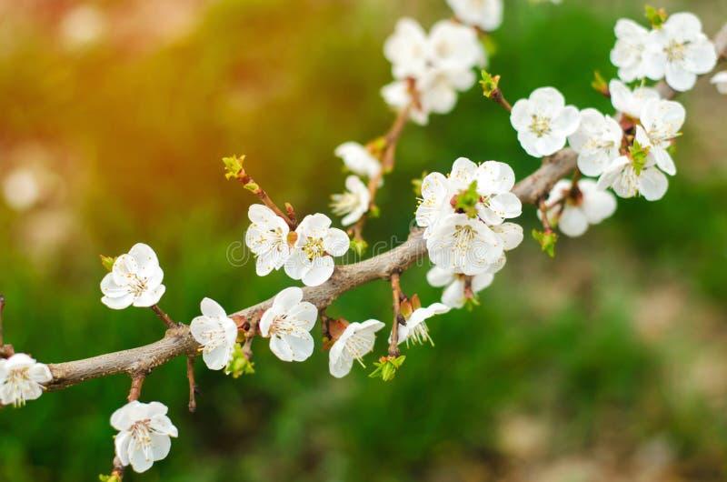 Den körsbärsröda blomningen på en solig dag, ankomsten av våren, blomstra av träd, slår ut på ett träd, naturlig tapet royaltyfria foton