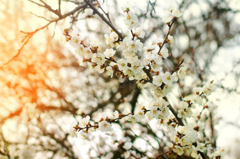Den körsbärsröda blomningen på en solig dag, ankomsten av våren, blomstra av träd, slår ut på ett träd, naturlig tapet royaltyfri bild