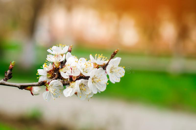 Den körsbärsröda blomningen på en solig dag, ankomsten av våren, blomstra av träd, slår ut på ett träd, naturlig tapet royaltyfria bilder