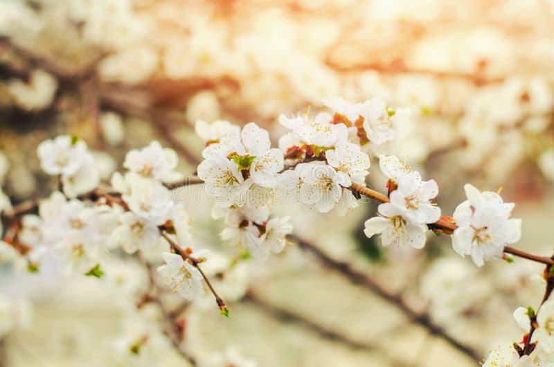 Den körsbärsröda blomningen på en solig dag, ankomsten av våren, blomstra av träd, slår ut på ett träd, naturlig tapet arkivbilder