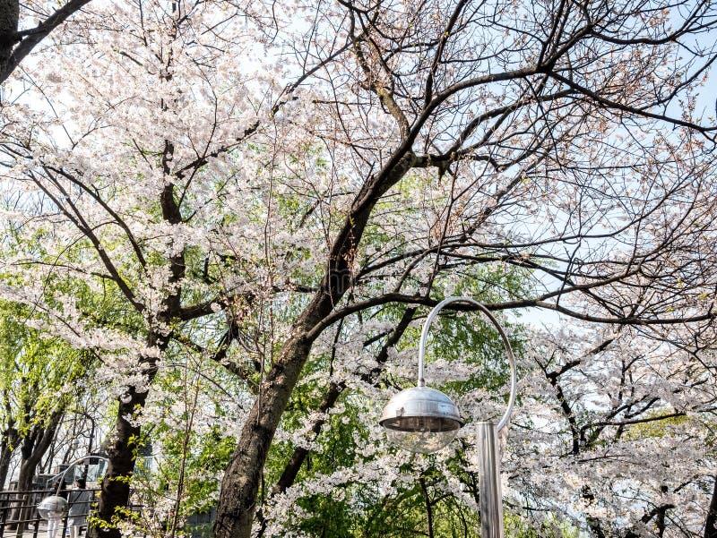Den körsbärsröda blomningen på Namsan parkerar, Seoul, Sydkorea Bakgrund för blå himmel i sommarsäsong royaltyfria bilder
