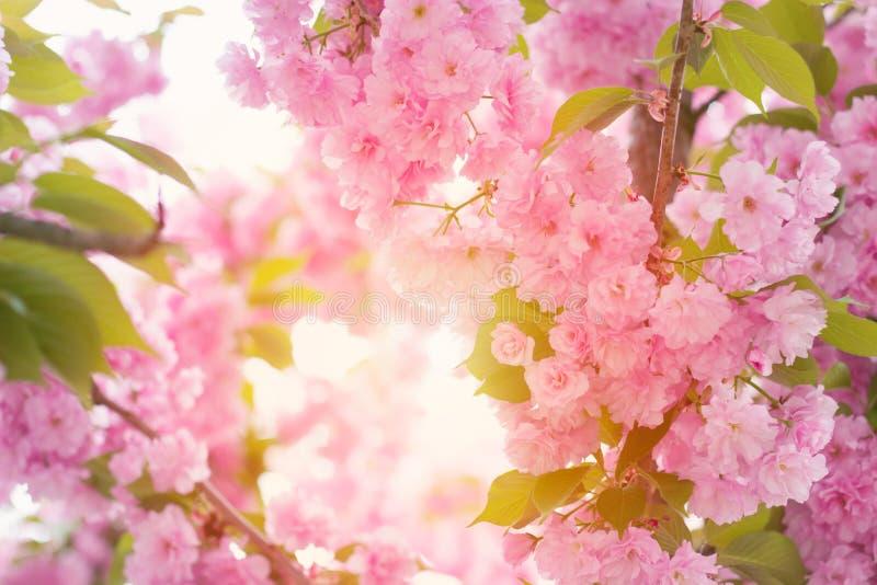 Den körsbärsröda rosa färgen blomstrar tätt upp; blommande rosa körsbärsrött träd med su royaltyfri bild