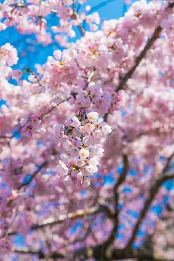 Den k?rsb?rsr?da blomningen Sakura runt om filosof g?r i v?ren, kyoto, Japan arkivbilder