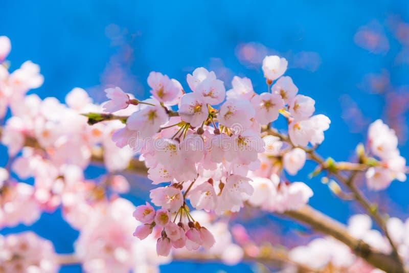 Den k?rsb?rsr?da blomningen Sakura runt om filosof g?r i v?ren, kyoto, Japan royaltyfri bild