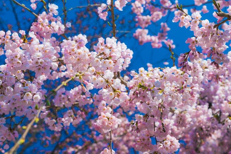 Den k?rsb?rsr?da blomningen Sakura runt om filosof g?r i v?ren, kyoto, Japan arkivbild