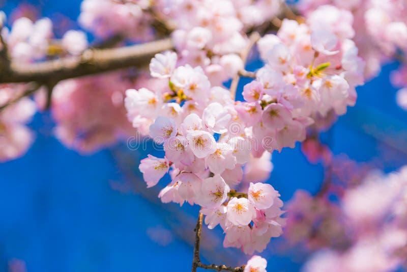 Den k?rsb?rsr?da blomningen Sakura runt om filosof g?r i v?ren, kyoto, Japan royaltyfri fotografi