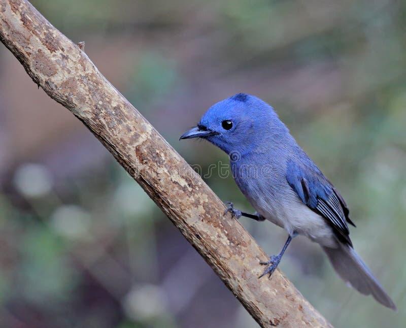 Den kallade blåa fågeln svärtar naped monarksammanträde på en sittpinne arkivfoto