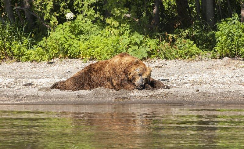 Den Kamchatka björnen sover på kusten av sjön royaltyfria foton