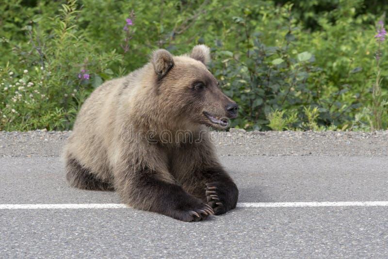 Den Kamchatka brunbjörnen ligger på asfaltvägen arkivfoto