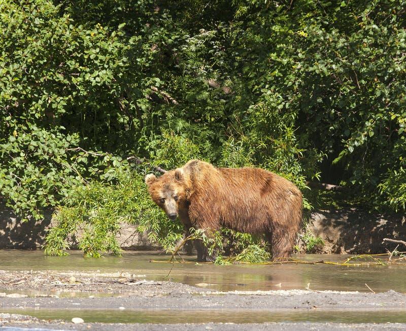 Den Kamchatka brunbjörnen på sjön arkivbilder