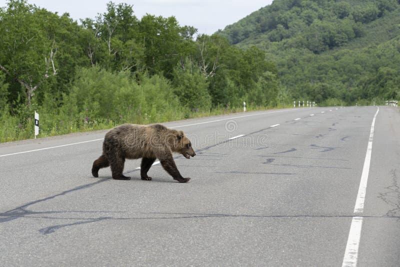 Den Kamchatka brunbjörnen promenerar huvudvägen arkivfoto