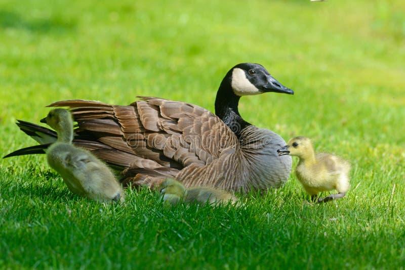 Den Kanada gåsföräldern med två behandla som ett barn royaltyfria bilder