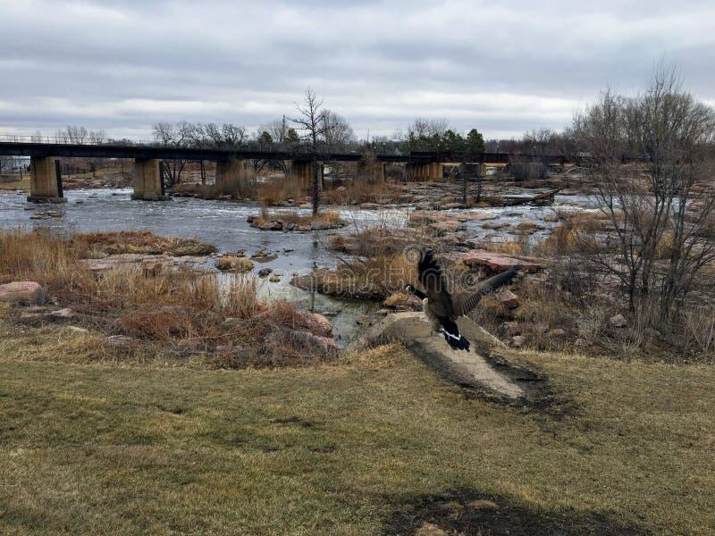 Den kanadensiska gässen framme av den stora Sioux River i Sioux Falls, South Dakota med sikter av djurliv, fördärvar, parkerar ba royaltyfri foto