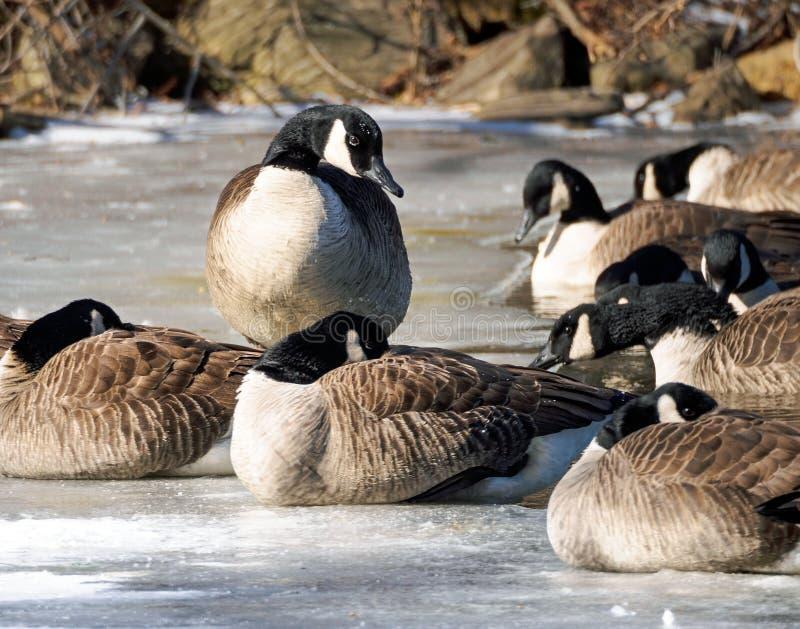 Den kanadensiska gässen kurade på en djupfryst sjö royaltyfria foton