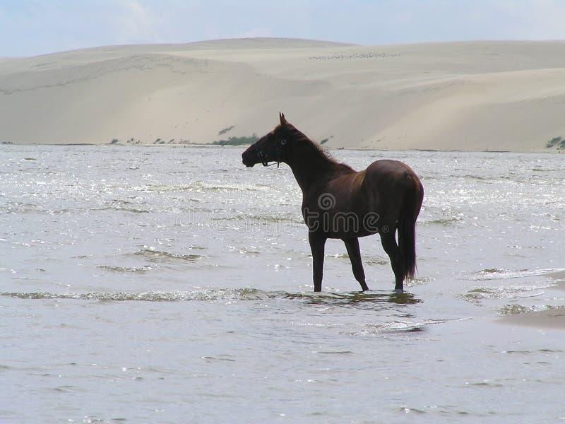 Den kastanjebruna hästen på kusten av den Curonian lagun royaltyfria bilder
