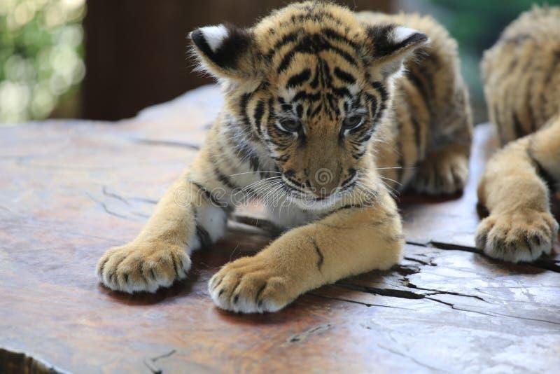 Den kinesiska tigern är en utsatt för fara katt som mycket är vild royaltyfria foton