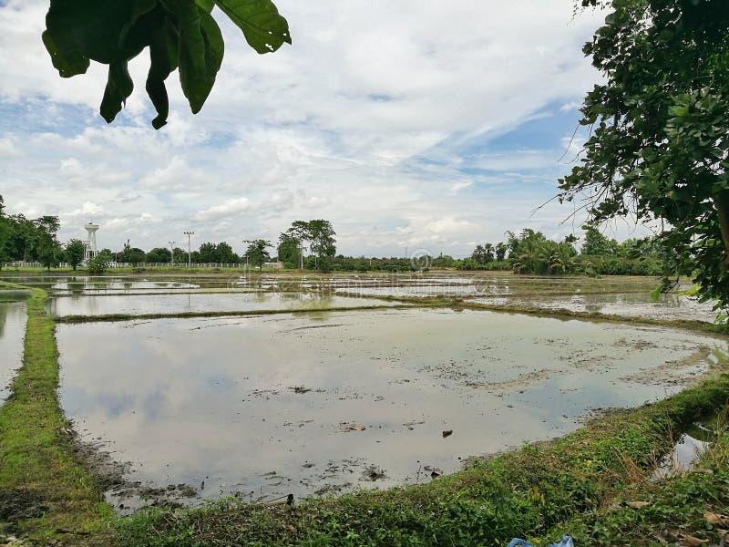 Den klara ricefielden arkivbild