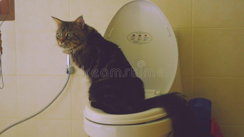 Den klyftiga Maine Coon katten använder en toalettpilbåge arkivbilder