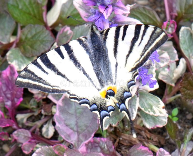 Den knappa swallowtailIphiclides podaliriusen royaltyfria bilder