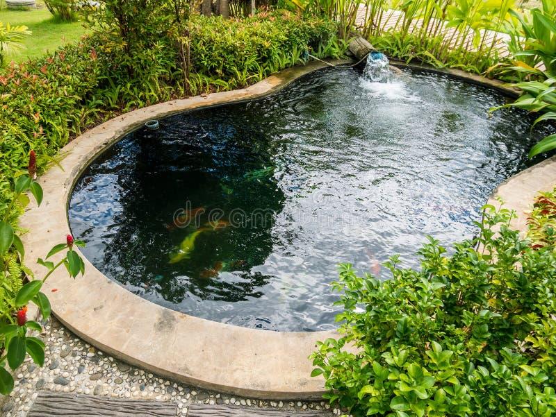 Den Koi fisken kverulerar simning i dammet arkivbild