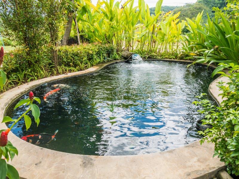 Den Koi fisken kverulerar simning i dammet royaltyfri foto