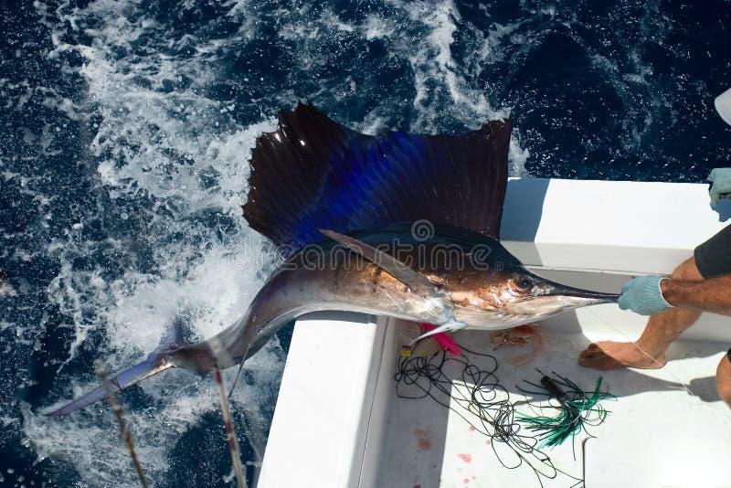 den kommande fisken ut seglar royaltyfria foton