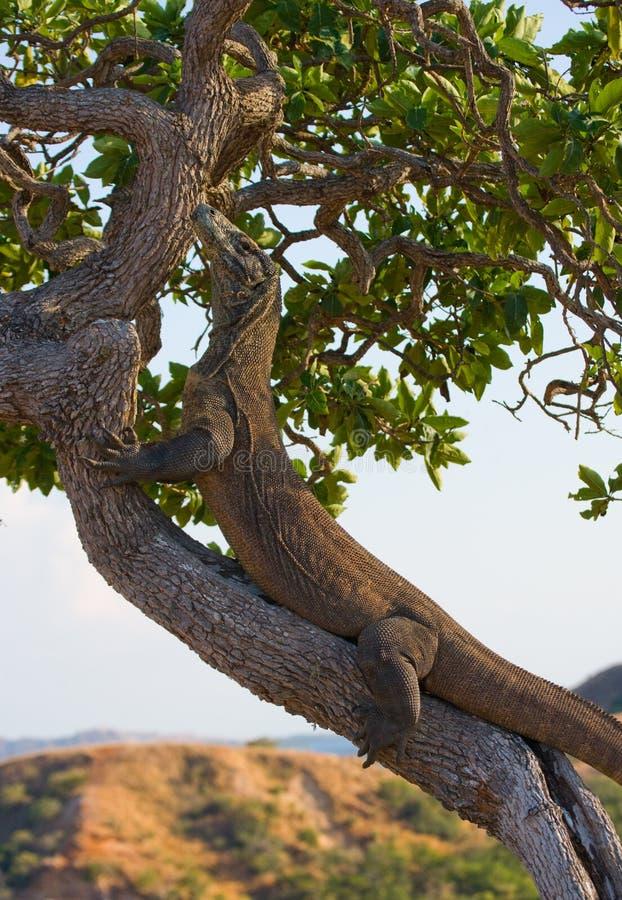 Den Komodo draken klättrade ett träd Mycket sällsynt bild Indonesien Komodo nationalpark royaltyfri fotografi