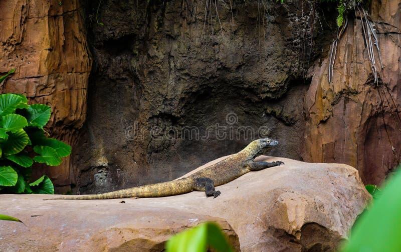 Den Komodo draken som sitter på, vaggar fotografering för bildbyråer