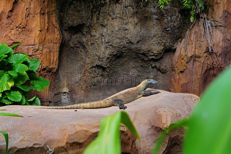 Den Komodo draken som sitter på, vaggar arkivfoton