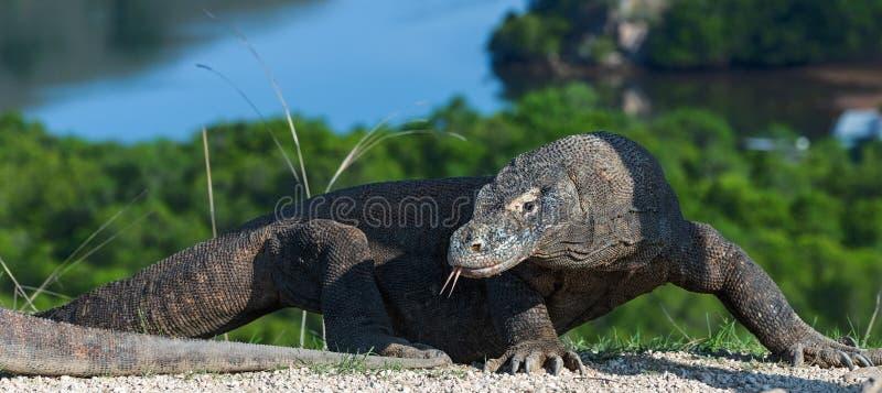 Den Komodo draken som ut klibbades, dela sig tungan och sniffar luft Den Komodo draken, vetenskapligt namn - Varanuskomodoensis S royaltyfri foto