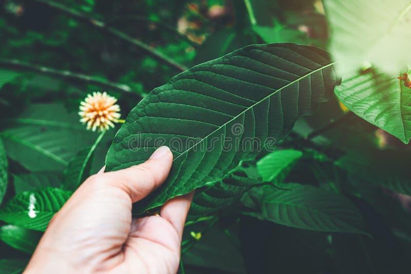 Den Korth stugan lämnar att växa för Kratom blommor i natur är vanebildande och medicinsk royaltyfria foton
