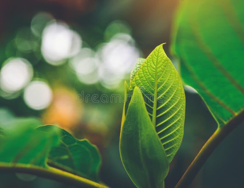 Den Korth stugan lämnar att växa för Kratom blommor i natur är vanebildande och medicinsk royaltyfri foto