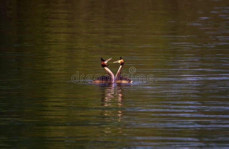 Den krönade doppingen, podicepscristatus, duckar kurtis royaltyfri bild