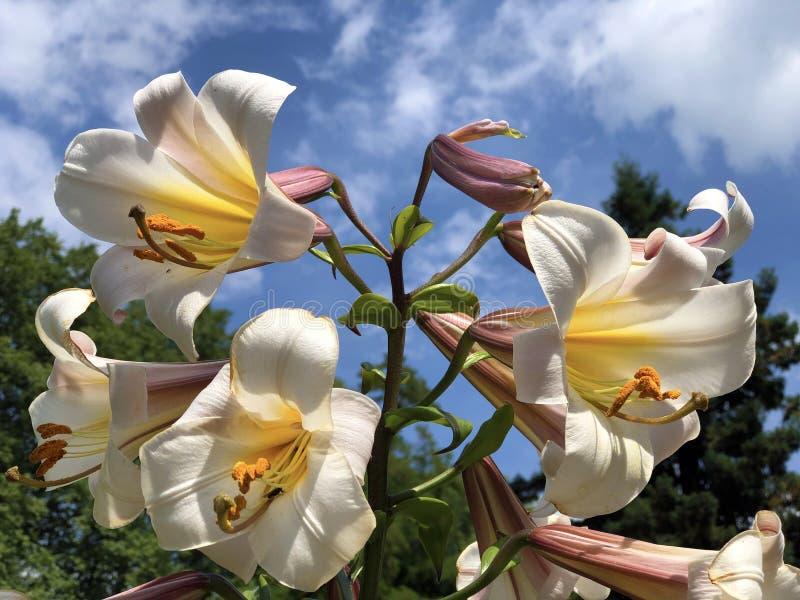 Den kungliga liljan, den kungliga liljan, konungliljan, julen liljan, Lilium undfägnar eller ön Mainau för den matrisKonigs-Lilie royaltyfria foton