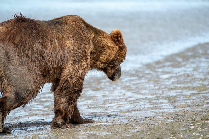 Den kust- Alaska gråsprängda brunbjörnen irrar längs floden, looki fotografering för bildbyråer