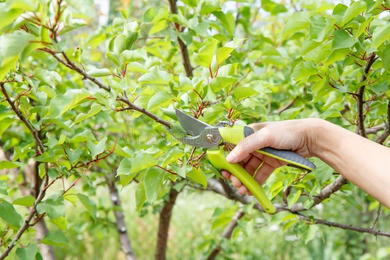 Den kvinnliga bonden med pruner klipper spetsarna av aprikostr?d royaltyfri bild
