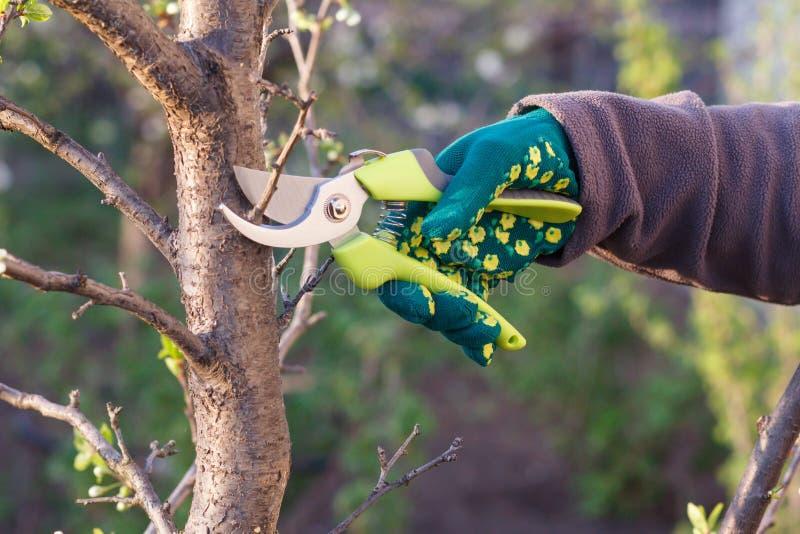Den kvinnliga bonden med pruner klipper spetsarna av plommonträd arkivfoto
