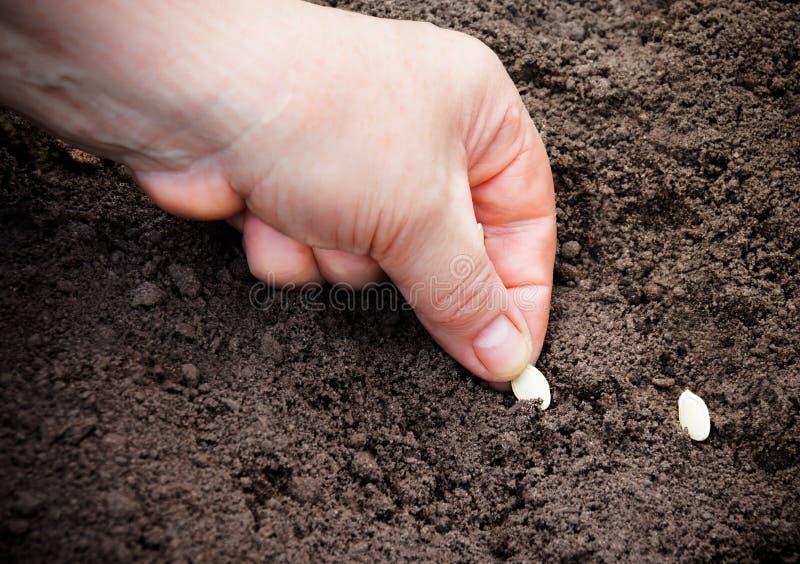 Den kvinnliga handen som planterar zucchinin, kärnar ur i jord Selektivt fokusera royaltyfria foton